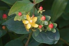 Magisk Desire St Johns wort blommar och bär frukt royaltyfri bild