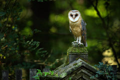 Magisk fågelladugårduggla, Tito album som sitter på stenstaketet i skogkyrkogård Royaltyfri Foto
