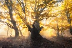 Magisk gammal skog med solstrålar Fantastiska träd i dimma royaltyfri fotografi