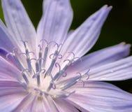 Magisk luminant blomma av cikorien arkivfoton