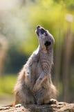 Magisk meerkat Arkivbild