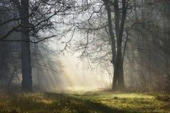 Magisk mystisk dimmig skog med solstrålar i morgonen royaltyfri bild