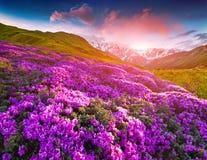 Magisk rosa rhododendron blommar i bergen bakbelyst dimmig soluppgång för liggandesommarsolljus