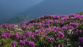 Magisk rosa rhododendron blommar på sommarberg Carpathian Ukraina arkivfilmer