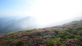Magisk rosa rhododendron blommar på sommarberg Carpathian Ukraina lager videofilmer