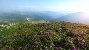 Magisk rosa rhododendron blommar på sommarberg Carpathian Ukraina stock video
