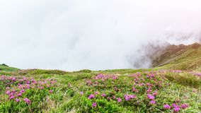Magisk rosa rhododendron blommar på sommarberg Låga moln och dimma stock video