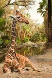Magisk sikt på giraff Arkivfoton