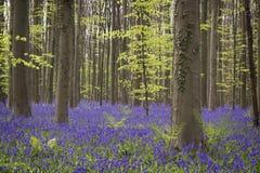 Magisk skog blomningarna av lösa hyacinter Hallerbos Belgi Royaltyfri Foto