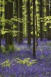 Magisk skog blomningarna av lösa hyacinter Hallerbos Belgi Arkivfoto