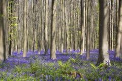 Magisk skog blomningarna av lösa hyacinter Hallerbos Belgi Arkivbilder
