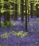 Magisk skog blomningarna av lösa hyacinter Hallerbos Belgi Arkivbild