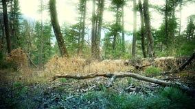 Magisk skog i Primorye cedertränedgång arkivfilmer