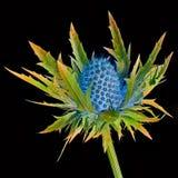 Magisk thistle Royaltyfri Fotografi
