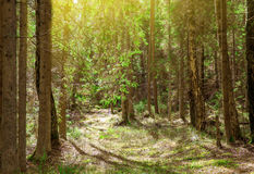 Magisk vårskog med solstrålar Royaltyfria Foton
