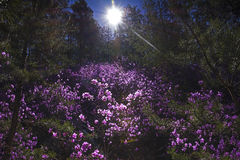 Magiska rosa rhododendronblommor i skogen fjädrar soluppgång Rhododendronerna är fulla i blom på våren Royaltyfri Bild
