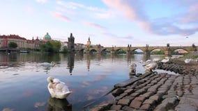 Magiskt härligt landskap med vita svanar på Vltava nära Charles Bridge i den gamla staden av Prague, Tjeckien stock video