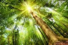 Magiskt lynne med solstrålar i en skog Royaltyfri Fotografi