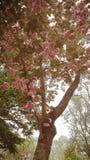 Magiskt rosa tr?d royaltyfria bilder