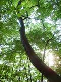 magiskt trä Arkivfoton