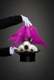 Magiskt trick med kaninen royaltyfria foton