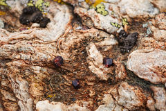 Magma rock with garnet crystals. On land surface Royalty Free Stock Photography