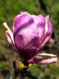 Magnólia bonita Foto de Stock Royalty Free