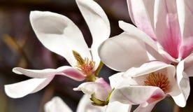 Magnólia bonita de Alexandrina Fotos de Stock Royalty Free