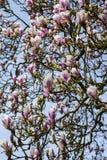 A magnólia bonita floresce em um parque na mola fotografia de stock