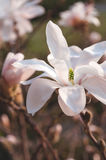 Magnólia branca bonita fotos de stock