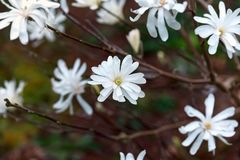 Magnólia branca bonita de florescência no jardim da mola imagem de stock