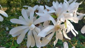 Magnólia branca bonita especial imagens de stock royalty free