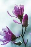 Magnólia cor-de-rosa de florescência Fotografia de Stock