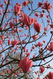 Magnólia cor-de-rosa de florescência no jardim na mola Fotografia de Stock Royalty Free