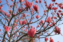 Magnólia cor-de-rosa de florescência no jardim na mola Imagem de Stock