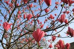 Magnólia cor-de-rosa de florescência no jardim na mola Imagens de Stock Royalty Free