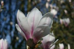 Magnólia de florescência na mola adiantada imagens de stock