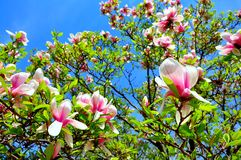 Magnólia na flor Fotos de Stock