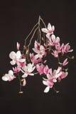 Magnólia, ramo cor-de-rosa da flor da mola no preto Fotos de Stock Royalty Free