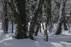 Magnetic winter scene of forest and ivy covered with snow in park, Sofia Stock Photo