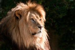 magnifcent顶头的狮子 库存图片