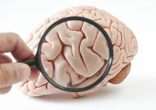 Magnification of human brain model on white background. A hand holding magnification glass. Magnification of human brain model on white background and hand stock images