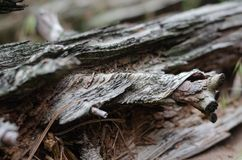 The texture and structure of the tree on the rotten log. Lines and bends of fibers along the trunk around the knot. royalty free stock photos