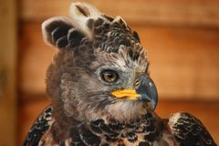 A magnificent african crowned eagle Royalty Free Stock Photography
