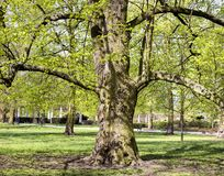 Magnificent ancient plane tree Stock Photos