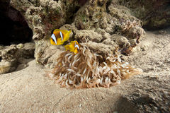 Magnificent anemone and anemonefish Stock Images