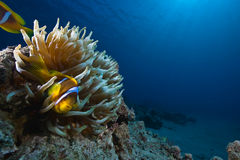 Magnificent anemone and anemonefish Stock Photos