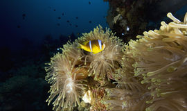 Magnificent anemone (heteractis aurora) Stock Images