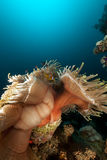 Magnificent anemone (heteractis magnifica) in the Red Sea. Stock Images