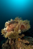 Magnificent anemone (heteractis magnifica) in the Red Sea. Stock Photography